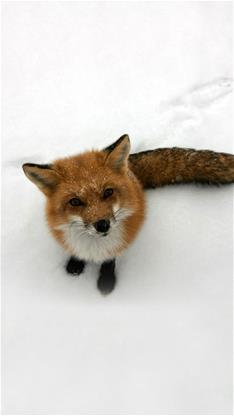 萌宠,狐狸,雪景,冬天,下雪,宠物,灰色