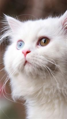 萌宠,动物,猫,喵星人,白猫,可爱,灰色,宠物