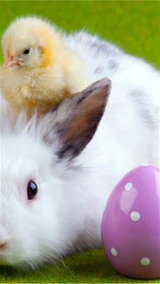 萌宠,宠物,兔子,小鸡,可爱