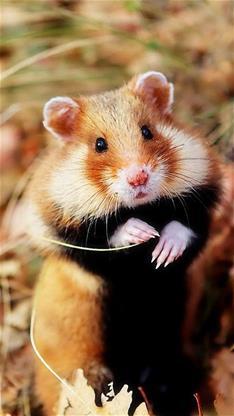 萌宠,动物,老鼠,仓鼠,豚鼠,吃货,棕色,宠物