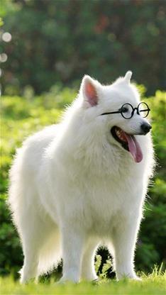 萌宠,动物,狗,汪星人,可爱,萌,萨摩耶,绿色,宠物