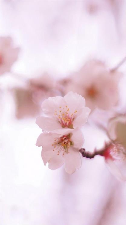 iphone6壁紙櫻花
