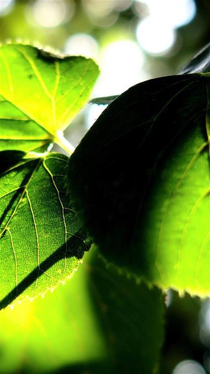 植物,叶子,阳光,自然,绿色