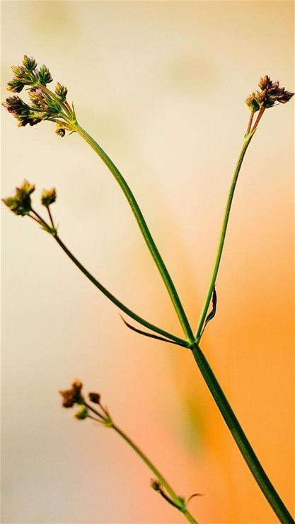 植物,花,意境,清新,自然,iphone6,iphone6,黄色,小清新