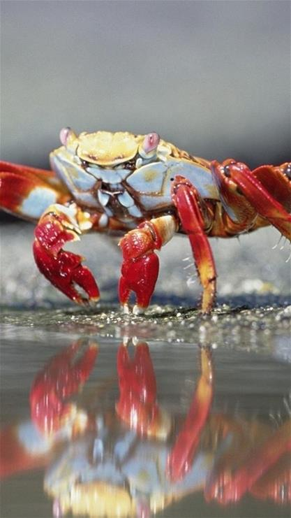 手机壁纸可爱简约螃蟹