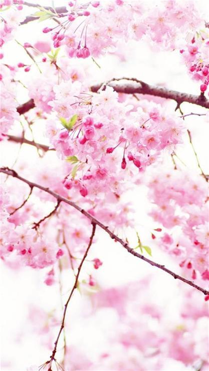 樱花,树枝,树