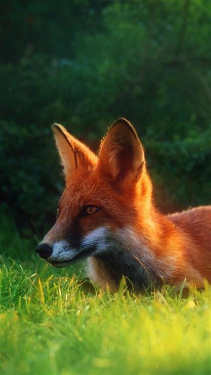 萌宠,狐狸,绿色