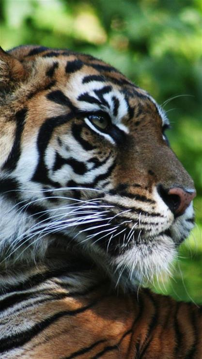 老虎可爱图片手机墙纸