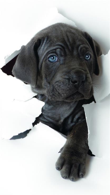 萌寵,狗,可愛,iphone6壁紙,iphone6 plus壁紙,黑色