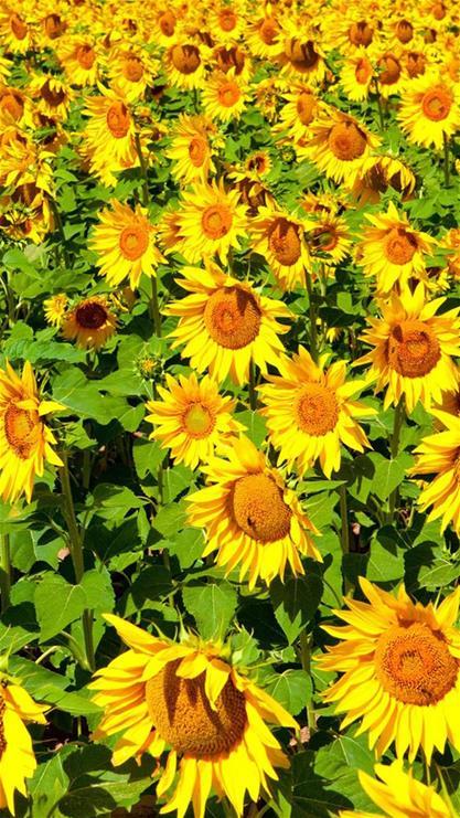 植物,向日葵,葵花,花海,绿色