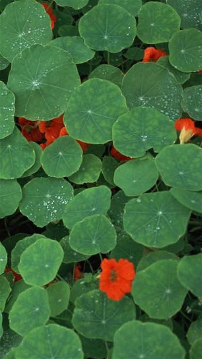 植物,叶子,花朵,红花,水珠,自然,iphone6,iphone6,绿色