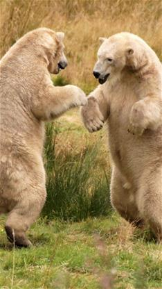 可爱,熊,打架,棕色