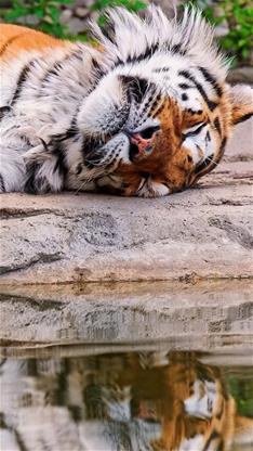 萌宠,老虎,睡觉,紫色