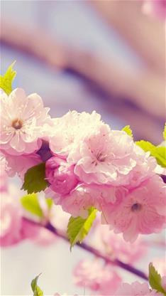 风景,唯美,樱花,粉色