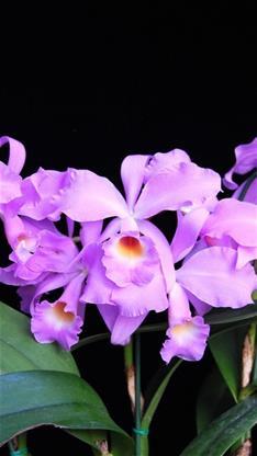 ppt背景图片树叶 紫色