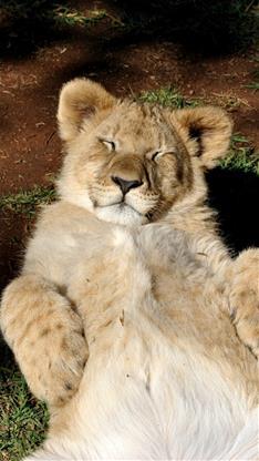 萌宠,狮子,可爱,萌,睡觉,棕色