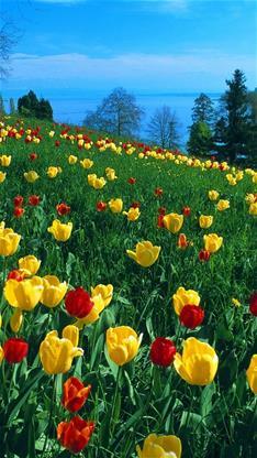 风景,唯美,郁金香,花海,蓝天,春天,绿色