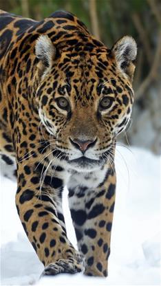 彩色 猎豹 豹子 动物 野兽_第7页_乐乐简笔画图片
