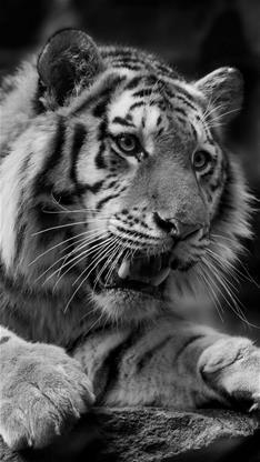 萌宠,老虎,黑白,动物,灰色