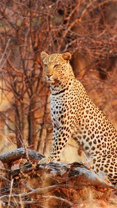 豹 豹子 壁纸 动物 桌面 234_416