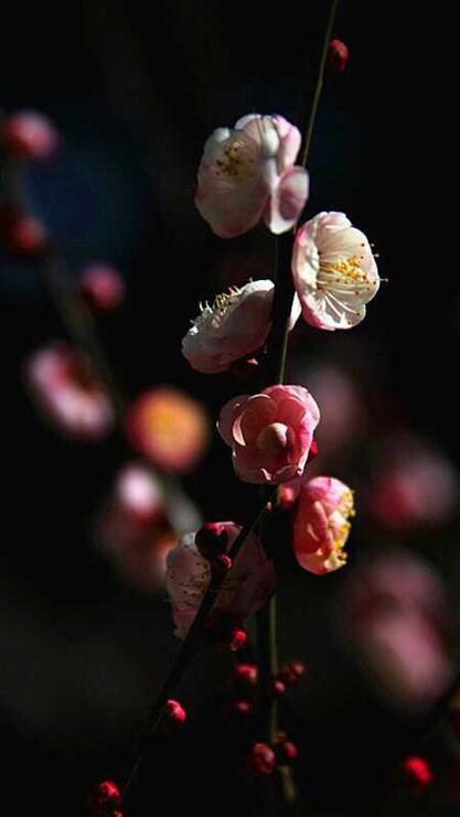 桃花,樱花,花朵,树枝,植物,彩色
